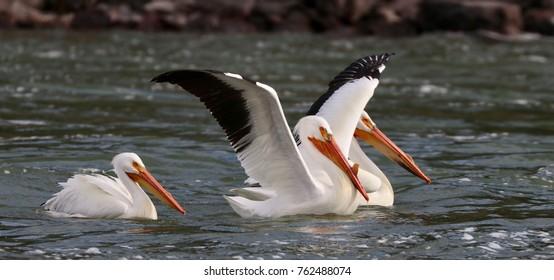 Fresh water pelican in Wyoming River
