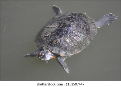 Fresh water turtle