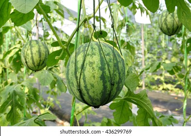 Watermelon Tree Pictures