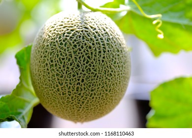 Fresh and well treat  Japanese melon in farm  or green melons cantaloupe melons  in greenhouse. Sweet  famous japanese fruit farming