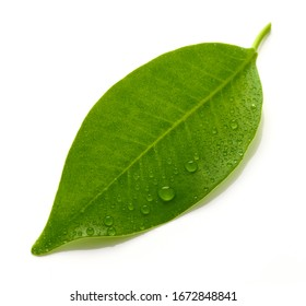 fresh wet leaf macro isolated on white background