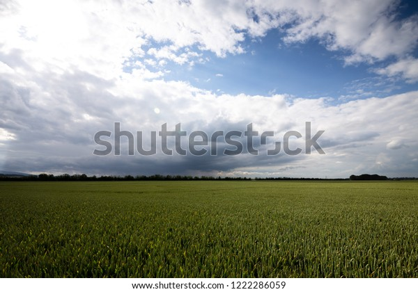 Fresh wheat field with blue sky