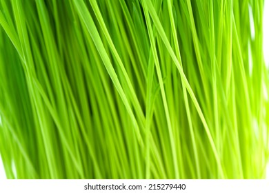 Fresh wheatgrass up close and in shallow depth of field to create an organic green background.