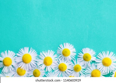 fresh white chamomile daisy flower pattern on bright blue background. flat lay, top view, copy space fore your text