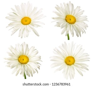 Fresh white chamomile isolated on white background with clipping path