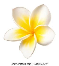 fresh white Frangipani flower isolated on white background