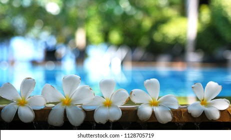 Fresh white frangipani plumeria tropical exotic flowers over blurred swimming pool water and tree of frangipani. Concept of a summer paradise vacation and aroma relaxation. Travel and tourism.