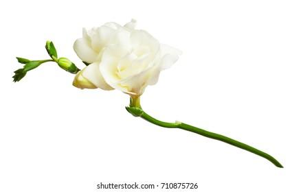 Fresh white freesia flowers isolated on white background