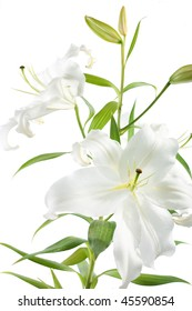fresh white lily isolated on a white background