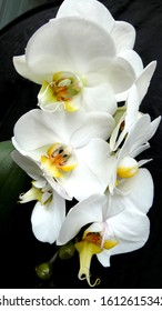 Fresh white orchids bloom against a black background
