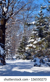 Fresh white snow heavily laden on the trees in a northern forest