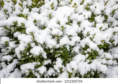 fresh white snow on the green cowberry leaves