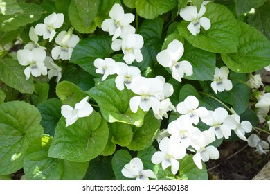 Fresh white Viola canadensis on green leaves background. White Viola in sunny weather, close up image with a flower. Beautiful Viola flowers background. Canadian white viola flowers or Canada violet.