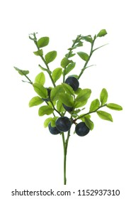 Fresh wild forest Bilberries ( European blueberry) on branches with green leaves isolated on white background.