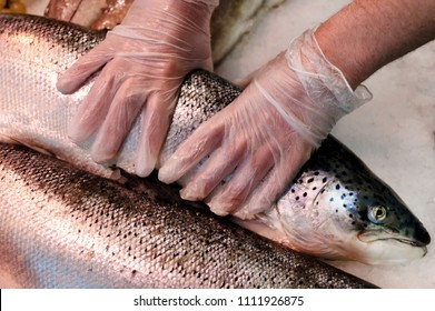 Fresh wild whole salmon on ice with male hands and gloves