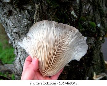 fresh wood oyster edible mushroom