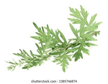 fresh wormwood twigs isolated on white background