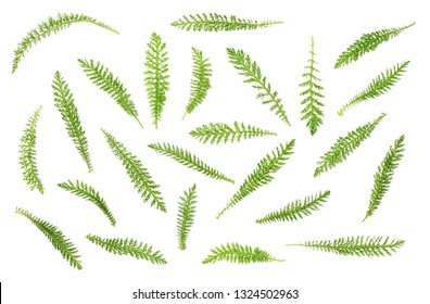 fresh yarrow leaves isolated on white background, top view