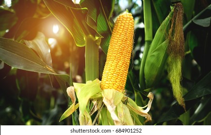 Fresh yellow corn cobs in the field of organic corn. Concept food and plant