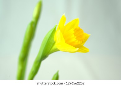 fresh yellow daffodil with green leaves
