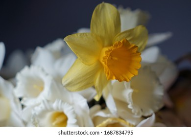 Fresh yellow daffodils against the dark background