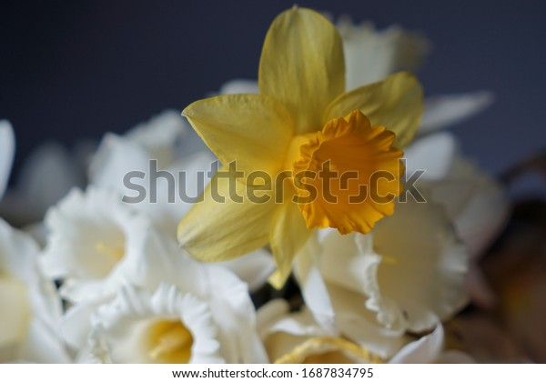 Fresh yellow daffodils against the dark background