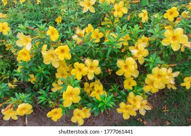 Fresh yellow flowers background of Allamanda, Common allamanda, Golden trumpet, Yellow bell (Allamanda Cathartica) are blooming on tree with green leaves in tropical flower garden  - Shutterstock ID 1777061441