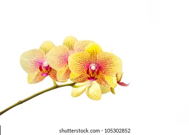fresh yellow orchid flower