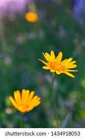 fresh yellow summer flower on the field