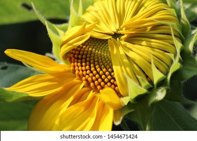 A fresh yellow sunflower begins to open its petals and bloom revealing its golden center ready for bees and butterflies.