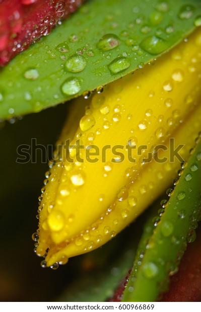 Fresh yellow tulip with water drops, macro.