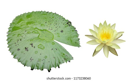 Fresh yellow waterlily flower and green leaf isolated on white background. Close focus of beautiful pink water lily flowers isolated is blooming with copy space for text or advertising