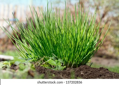 fresh and young chives in a spring garden