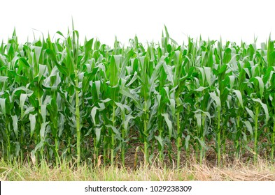 Fresh young corn field in the farm on white sky background