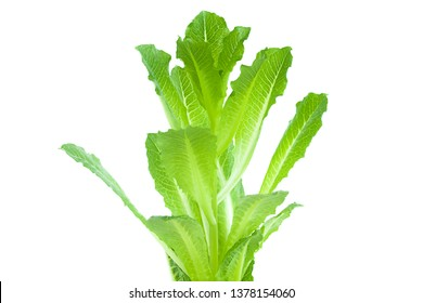 Fresh young green leaves of roman lettuce on a white background.
