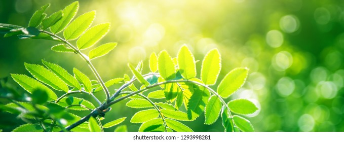 Fresh young green leaves of tree growing in spring. Beautiful green leaf nature outdoor background with copy space