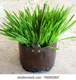 Fresh young intense bright green wheat grass growing in an old battered antique handmade copper pail bucket sitting on a slab of cream colored marble t Shabby Chic decor home