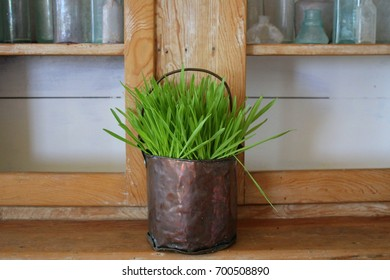 Fresh young intense bright green wheat grass growing in an old battered antique handmade copper pail bucket Shabby Chic decor home