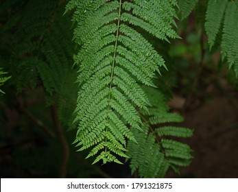Jacaranda Leaves Hd Stock Images Shutterstock