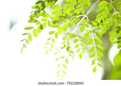 Fresh young moringa  tree leaves in sun,selective focus image.