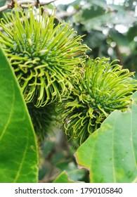Fresh young rambutan on tree