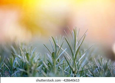 Fresh and young rosemary branch against golden sunlight. Herbal background with copy space, essential oils and Mediterranean cuisine concept.