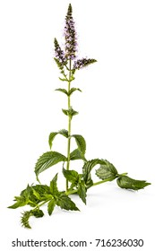 Fresh young spearmint plant with flowers isolated on white background. Mentha spicata. Spearmint green leafs, healthy aroma