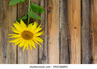 Fresh young sunflower on the old wooden table