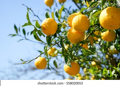 Fresh yuzu orange tree