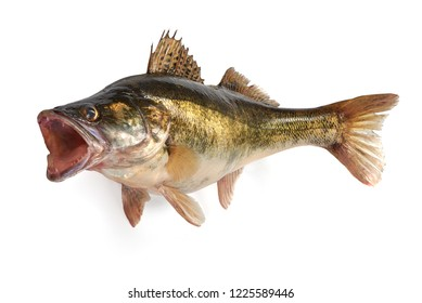 Fresh Zander fish, isolated on a white background. Close-up