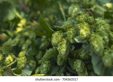 Fresh Zeus hops waiting to be picked