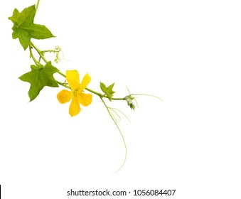 Fresh zucchini green leafs and yellow flower isolated on white background with clipping path .Luffa Aegyptiaca.