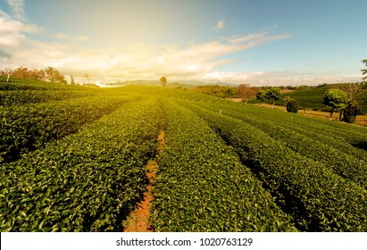 The freshing and beautiful of the tea plantations.