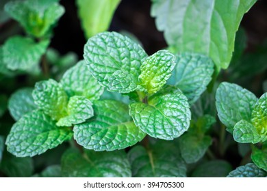 Fresh-looking green peppermint leaves on its sprout